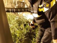 Kwekerij met 621 wietplanten gevonden op zolder rijtjeshuis in Klarendal