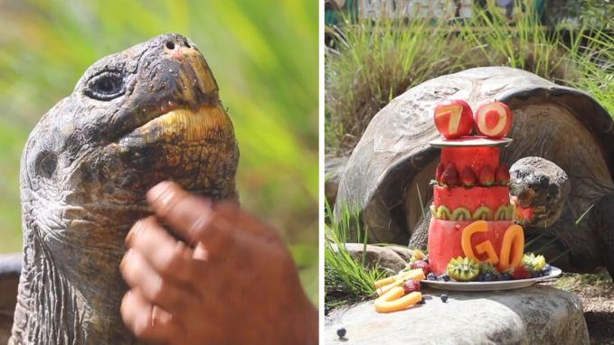 Hugo de galapagosschildpad wordt 70 en dat moet gevierd worden