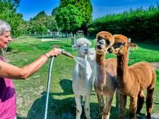Kroelend de zomervakantie door met een alpaca in Westmaas