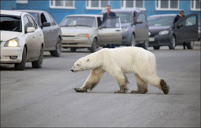 De ijsbeer zwierf door de straten van Norilsk.