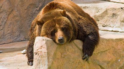 Beren komen maand vroeger dan normaal uit winterslaap door extreem zachte winter