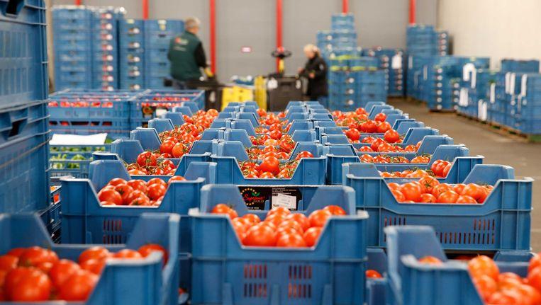 Tomaten op de veiling in Zaltbommel. Beeld ANP