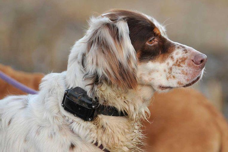 Een stroomhalsband geeft een elektrische schok wanneer het baasje de hond wil vermanen, of wanneer de hond zich buiten een bepaald terrein wil wagen.