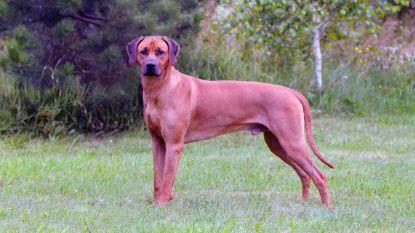 Wie schoot wedstrijdhond Mak neer tijdens boswandeling? Mysterie blijft nu jager in beroep is vrijgesproken