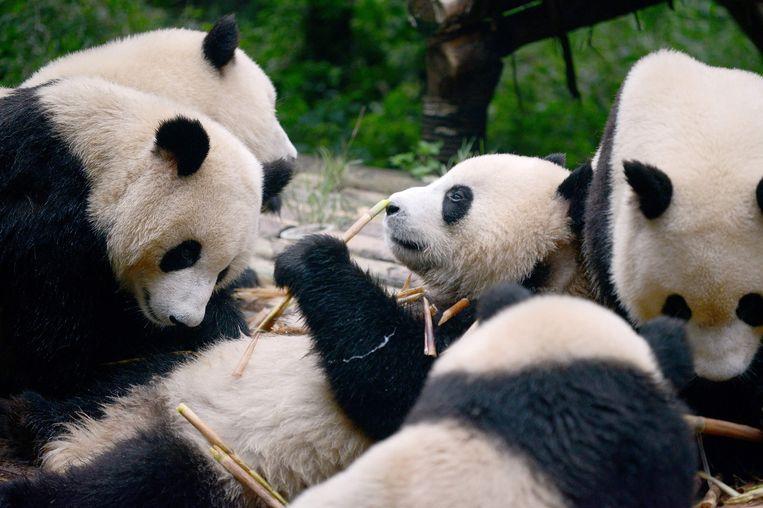Wetenschappers kunnen via de app panda's identificeren via gezichtsherkenning.
