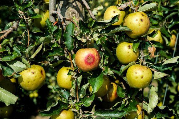 Door de hitte kelderden de appelprijzen met 51%.