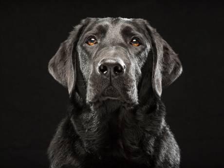 Baasje van vergiftigde labrador: 'Als ik verdriet had legde ze een poot op mijn schouder'