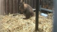 Kangoeroeterugnaarkooigesprongen