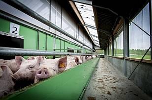 Een archieffoto gemaakt in het Varkens Innovatiecentrum VIC in Sterksel