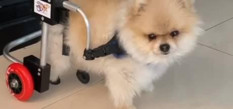 Hondje van Frans Bauer kan weer lopen met rolstoeltje en Dionne Stax te zien in glamoureuze fotoshoot