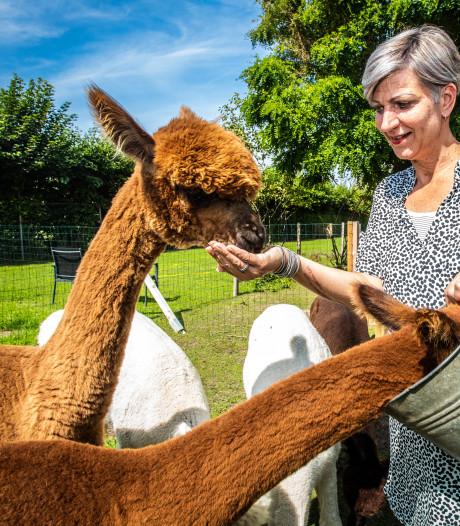 Waarom we door ons oerinstinct zo graag met alpaca's willen kroelen