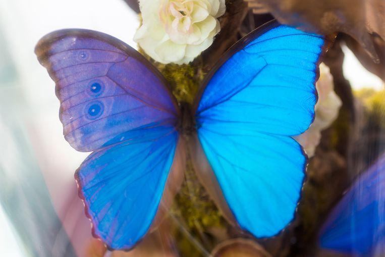 Het ging om een helblauwe vlinder van het morphogeslacht.