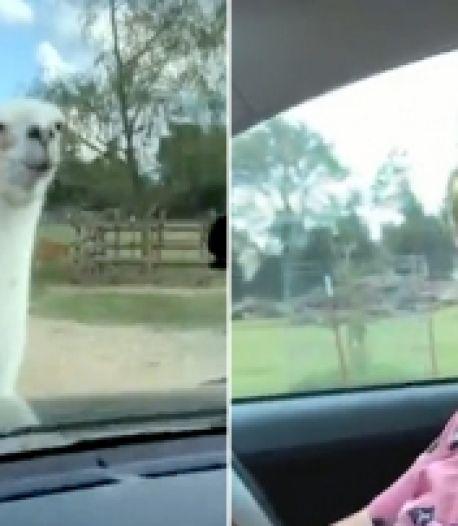 """""""Quand lama pas content, lui toujours faire ainsi"""""""