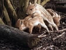 Wild zwijn rukt op in Brabant 'Zelfs afschieten houdt ze niet tegen'