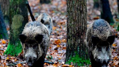 Duitse minister wil dat 70 procent van wilde zwijnen afgemaakt wordt