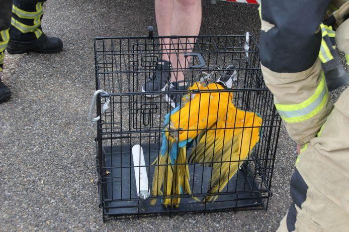 De papegaai na de redding uit de boom door de brandweer.