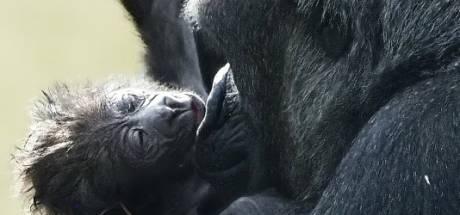 Beekse Bergen trots op geboorte van ernstig bedreigde laaglandgorilla