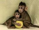 De gekloonde aapjes Zhong Zhong en Hua Hu.