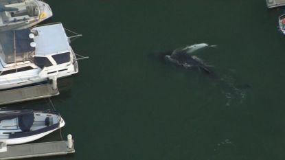 Acht meter lange walvis vast in jachthaven