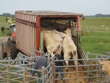 Koeien uit natuurgebied Spuimonding West en Beninger Slikken gaan op transport