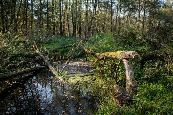 De bosbeek stroomt door Oost-Limburg.