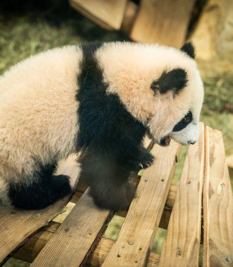 Lief: babypanda Fan Xing klimt en klautert door zijn buitenverblijf