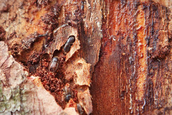 Le coléoptère européen est dit ravageur car il décime les forêts