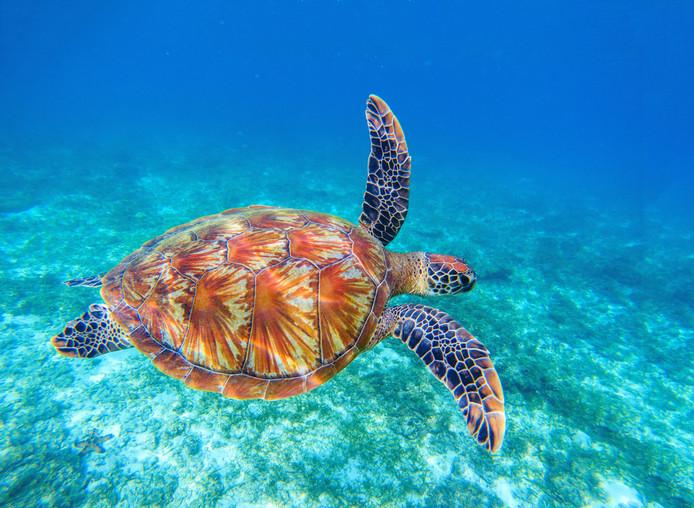 Het Olive Ridley Project Marine Turtle Rescue Centre zoekt een stagiair om twee weken lang gewonde zeeschildpadden te verzorgen.