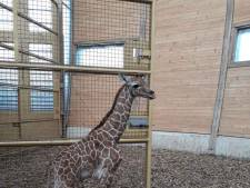 Feest bij de giraffen in Blijdorp: weer een kleintje geboren
