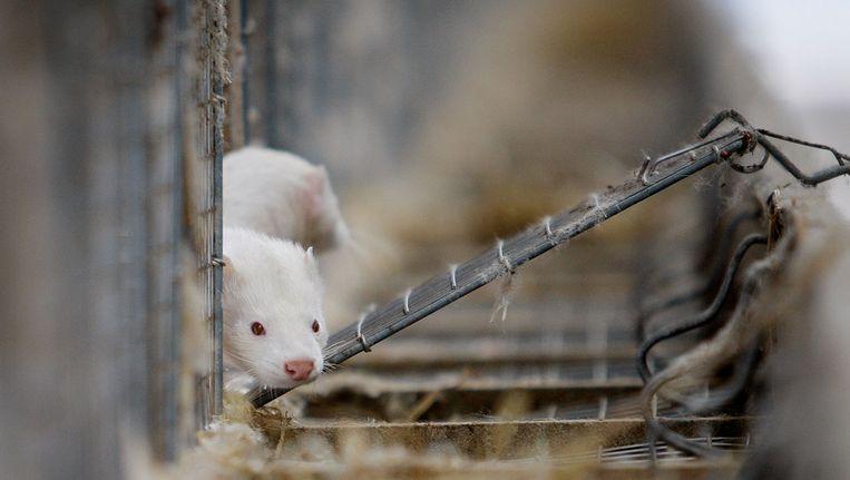 Twee Nertsen bij onderzoeksbedrijf voor pelsdieren Edelveen Beeld ANP