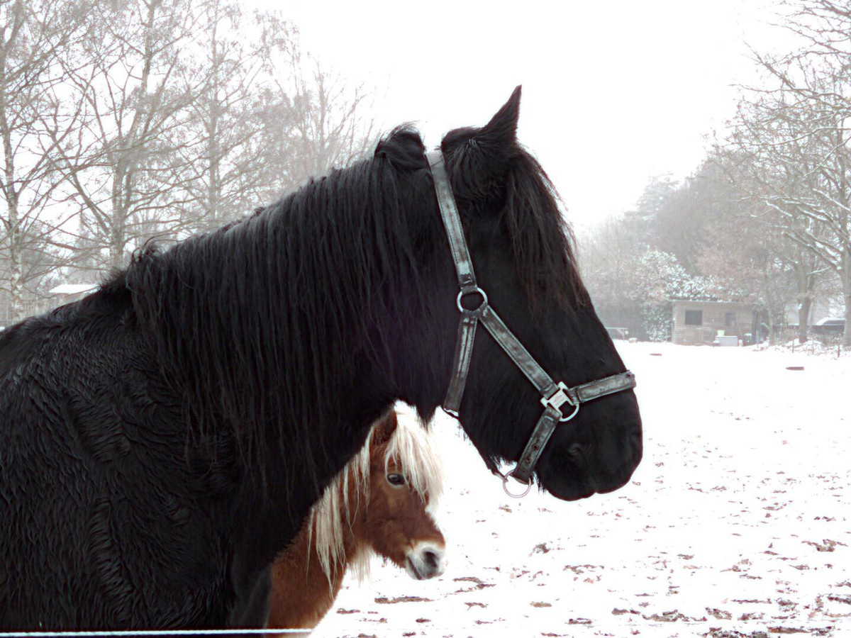 Twee paarden in de sneeuw in Geldrop.