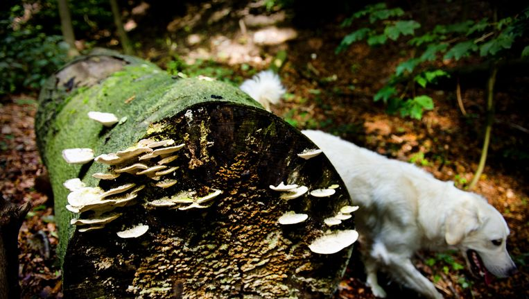 De plukker moet goed opletten of paddenstoelen werkelijk eetbaar zijn Beeld anp