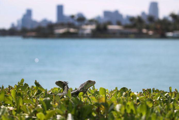 Een koppeltje leguanen in Miami, Florida. De dieren vormen een bedreiging voor de lokale flora en fauna
