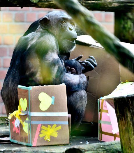 Babychimpansee in DierenPark Amersfoort heet Malaika