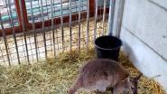 Ontsnapte wallaby gevat na klein weekje op de huppel