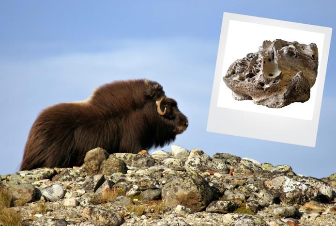 De 'gewone' muskusos leeft nog steeds op de toendra's in het noordpoolgebied. In de Achterhoek werd in 2011 een schedel gevonden van de kleinere soortgenoot van d reuzenmuskusos (inzet).