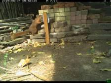 Winterswijkse tuinen zitten vol wild, bewijst de wildcamera