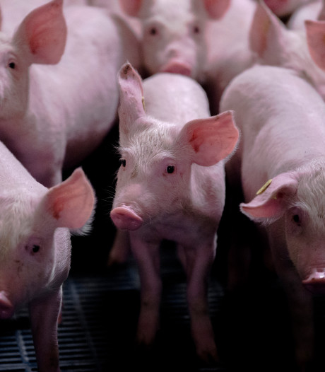 Krimpcijfers van Smit overtuigen PrO niet: 'Vijf varkens op elke Oisterwijker'