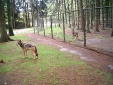 Ontsnapte wolvin van wildpark bij Gendringen doodgeschoten