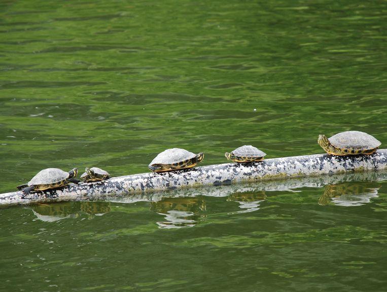De rood- en geelwangschildpadden zijn agressief en vallen de eenden en vissen van de vijver aan.