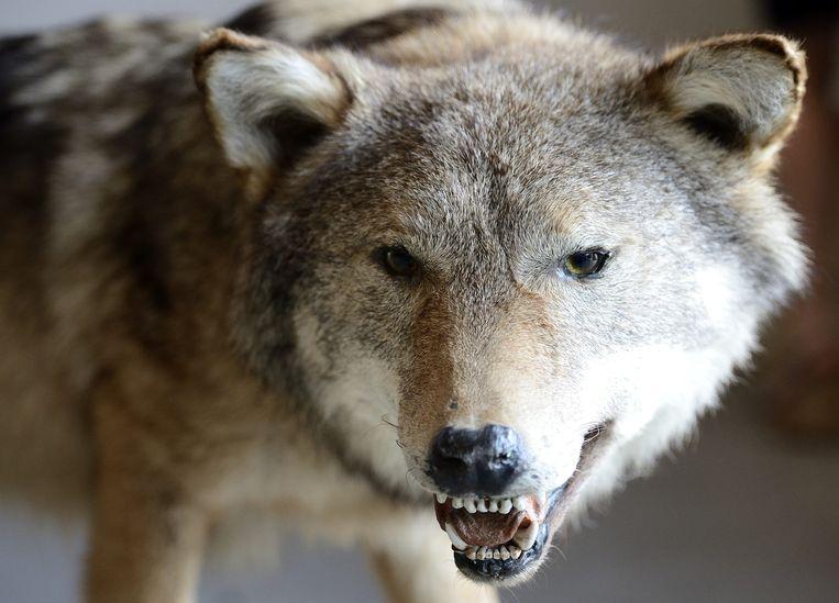 Een opgezette wolf in het bezoekerscentrum van Natuurmonumenten. Beeld anp