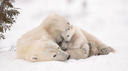 Heldhaftige papa redt dochters van aanval ijsbeer, overleeft zelf niet