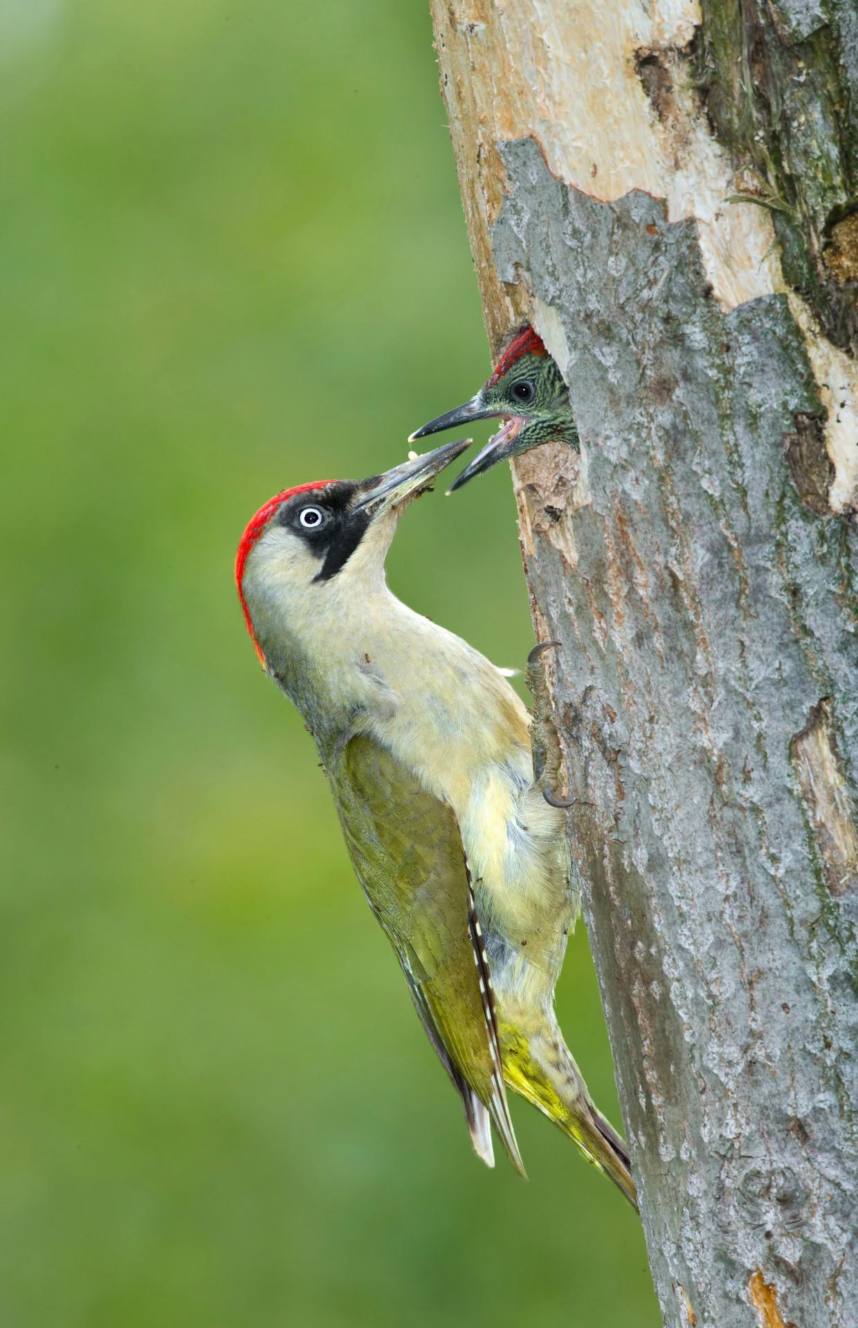 De groene specht is een van de broedvogels in zowel het Flevopark als het Diemerpark.