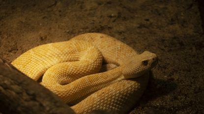 Uiterst gevaarlijke ratelslangen uit Noord-Amerika vinden onderdak in Serpentarium