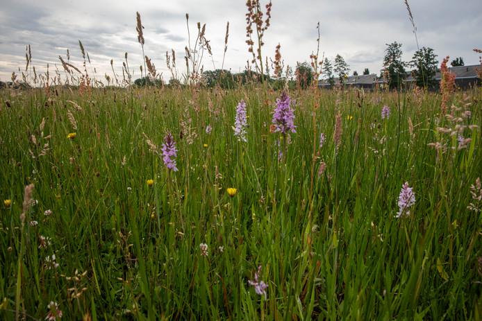 Ze staan er nog wel, wilde orchideeën in Aalst, maar er is er ook een aantal gestolen.