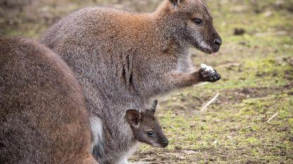 Gezocht: naam voor babykangoeroetje