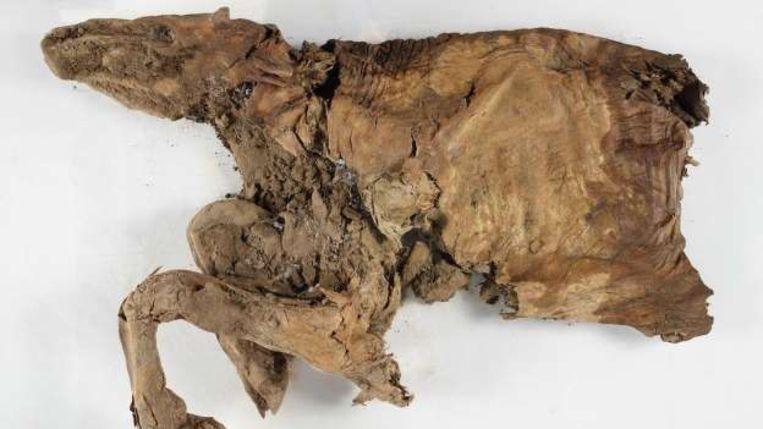 De resten van deze kariboe zijn 50.000 jaar oud en in uitzonderlijke staat