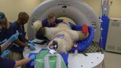 Enorm karwei: zo gaat een ijsbeer naar de dokter