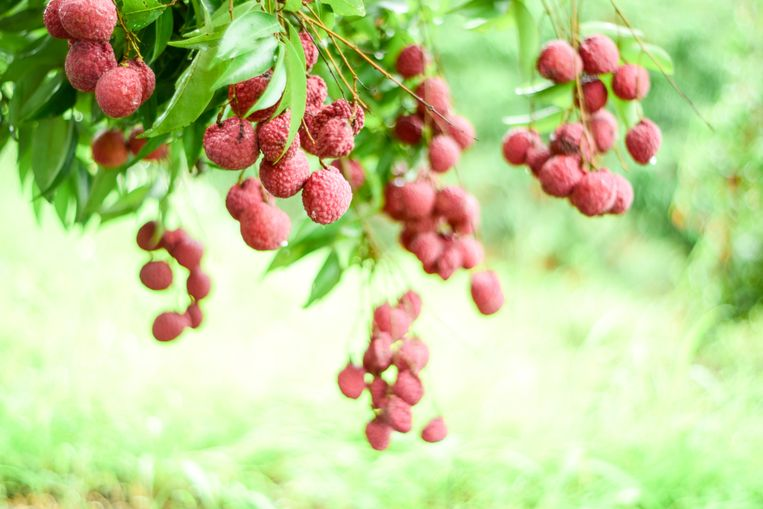 De sterfgevallen vonden plaats op een plek waar veel lycheeboomgaarden zijn.