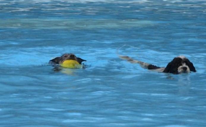 Honden leven zich uit in het zwembad in Axel.